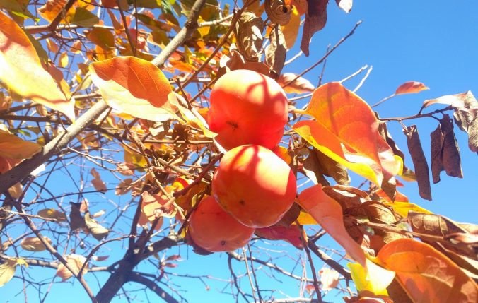 Meanwhile, persimmons.